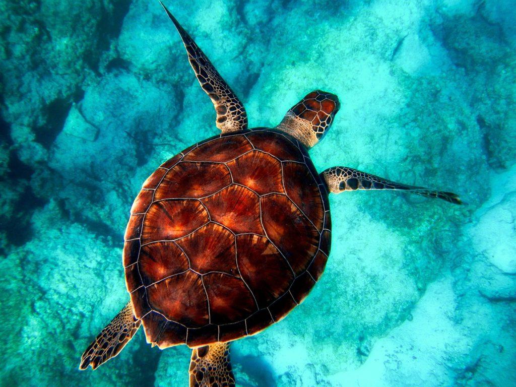 Große Meeresschildkröte im glasklaren Wasser